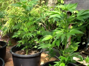 Natural cannabis plant