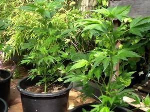 Natural cannabis plant